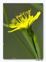 Tolpis laciniata