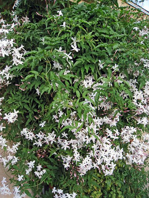 Jasmine (2104)