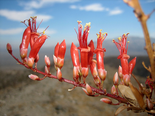 Ocotillo Bloom (8293)