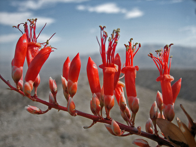 Ocotillo Bloom (8294)