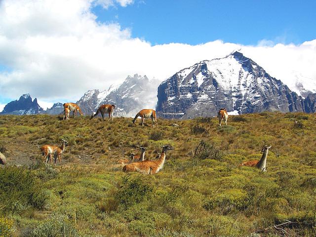 Torres del Paine et Guanacos