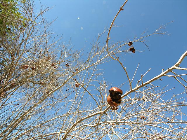 Brown Date Garden Pomegranates (6804)