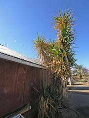 Brown Date Garden (6799)