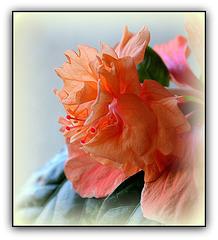 Froufrous d'hibiscus