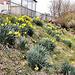 04 daffodils