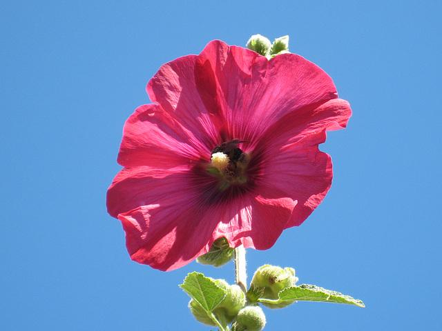 Rose rose Bombon