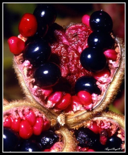 fruto  de peonia