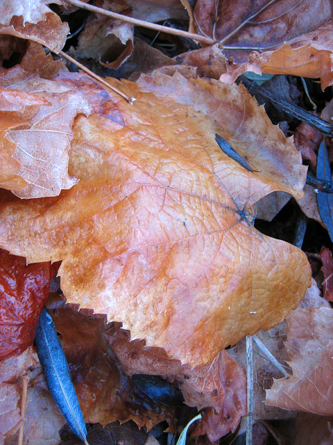 Autumn Leaves in Johnson Canyon (8580)