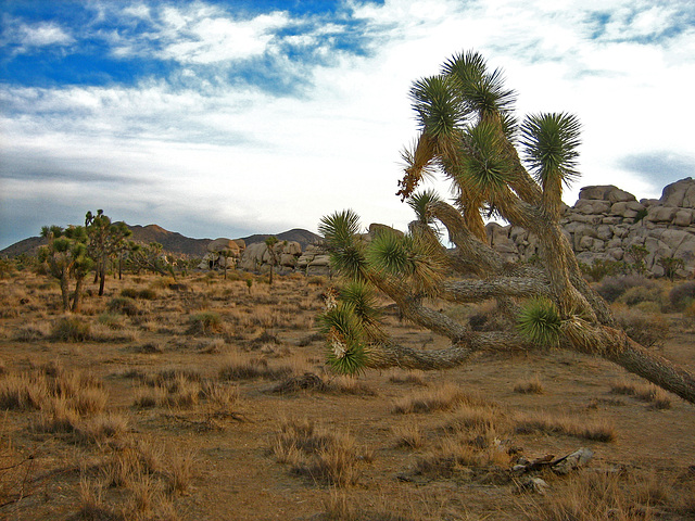Joshua Tree Near Cap Rock (8045)