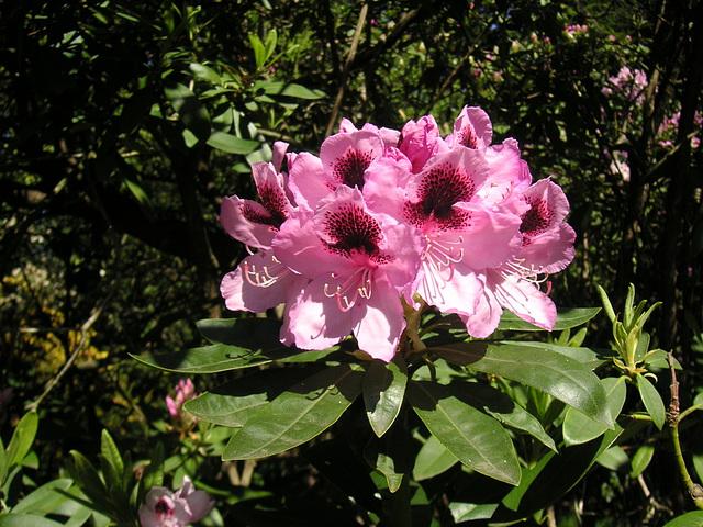 Im Rhododendronpark Rathen