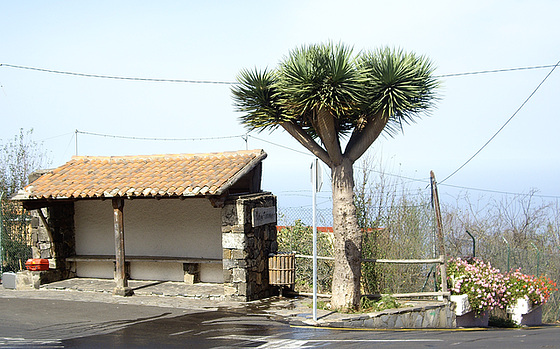 Haltestelle mit Drachenbaum im Orotavatal