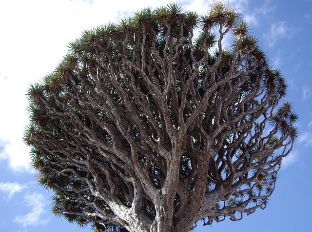 die Drachenbäume in Icod auf Teneriffa