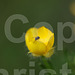 bug on buttercup