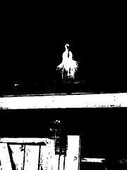 Le roi du toit / The roof King - Disneyworld / 27 décembre 2006 - Bichromie