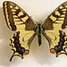 Papilio en naturmuzeo - im Naturkundemuseum