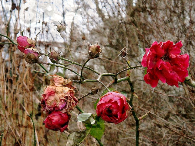 red roses in january