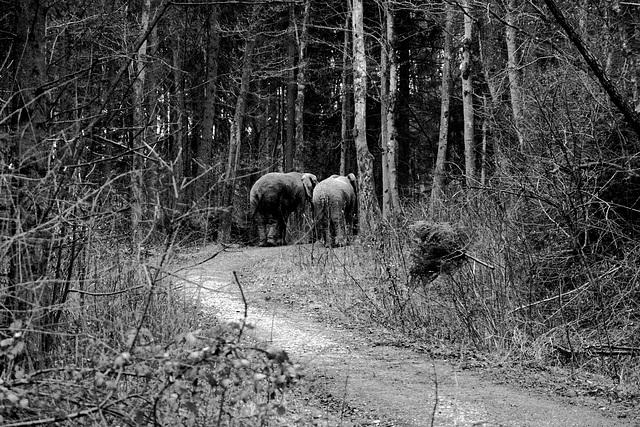 Elephants at Icking 3