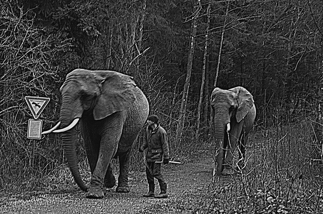 Elephants at Icking 1