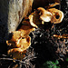 Zerfledderte Pilze