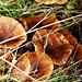 Ein Pilz kommt selten allein