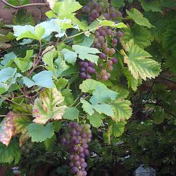 Weintrauben-Pergola