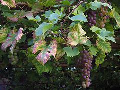 Weintrauben und ihr Laub im Herbst