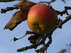 verwaister Apfel am Baum