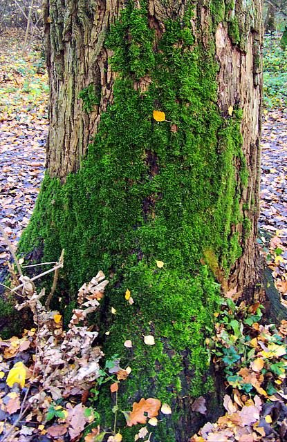 Moss-Tree