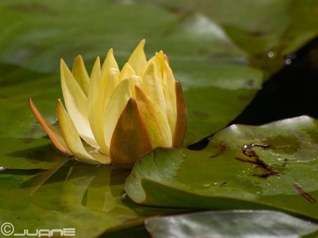 Nenúfar amarillo (Nymphaea mexicana)