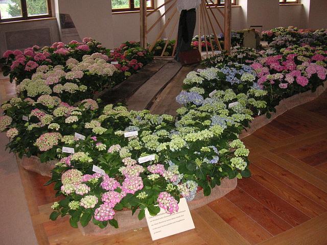 Hortensienschau im Barockschloß Zuschendorf - 2007