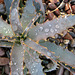 Wet Agave (8459)