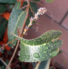 Raindrops On Leaf (8458)