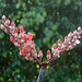 Ocotillo Blooms (8462)