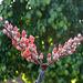 Ocotillo Blooms (8461)