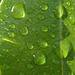 Ficus (8464A)