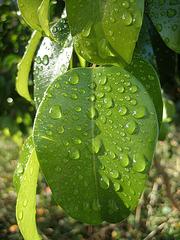 Ficus (8464)