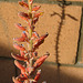 Aloe Bloom (8456)