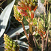 Agave Blooms (8466)