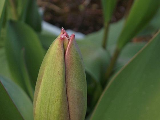 Tulip not yet opened