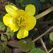 Celandine flower on the drive