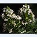 Echium giganteum