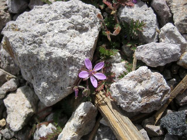 Rhyolite Flower (8662)