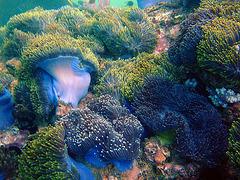 Colorful anemone plants