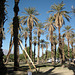 Furnace Creek Date Palm Restoration (8547)