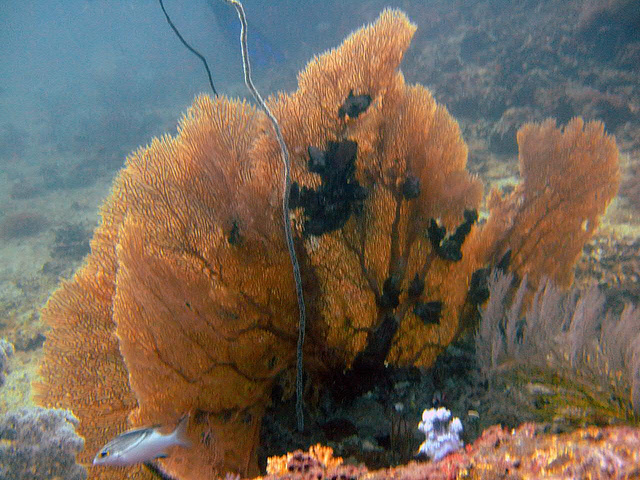 Fan coral in its nice color