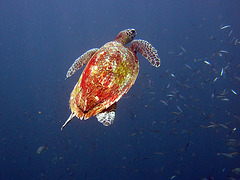 Turtle rushes to the surface
