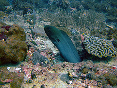 Moray eel curiously looking out