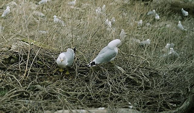See Gulls