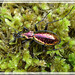 Carabus (Chrysocarabus) rutilans