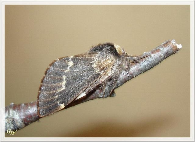 Poecilocampa populi mâle